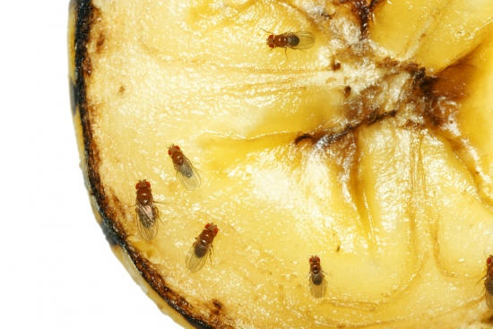 How To Get Rid Of Fruit Flies From Your House?